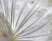 Fine Art Photography, Abstract Patterns in Nature, White Peacock Feathers, 8x12 - EchidnaArtandCards
