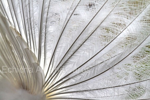 Feather Photography, White Peacock, 8x12 Print, Bedroom, Living Room Decor