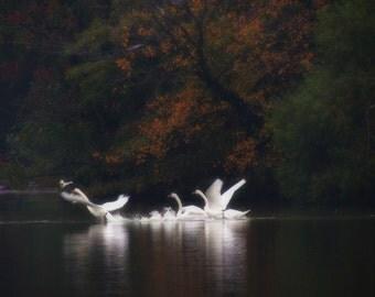 Flight - White Swan Photograph - Wall Decor - Reflections - Nature Art - Autumn Lake Scene - Bird Art - Landscape - Bird(Animal) Photograph