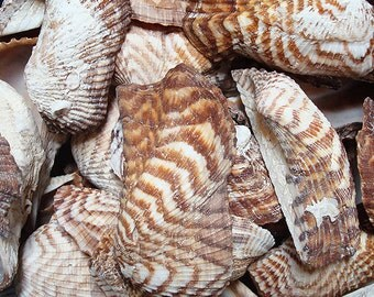 Turkey Wing Seashells (12 pcs.) - Arca Zebra