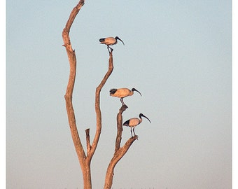 Ibis at Sunset photo print - 8x10 inches (20x25cm) - nature, surreal, minimalism, fine art photography