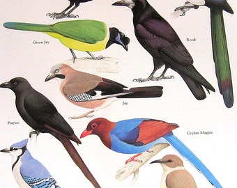 Common Crow, Green Jay, Ceylon Magpie, Rook Vintage 1984 Birds Book Plate