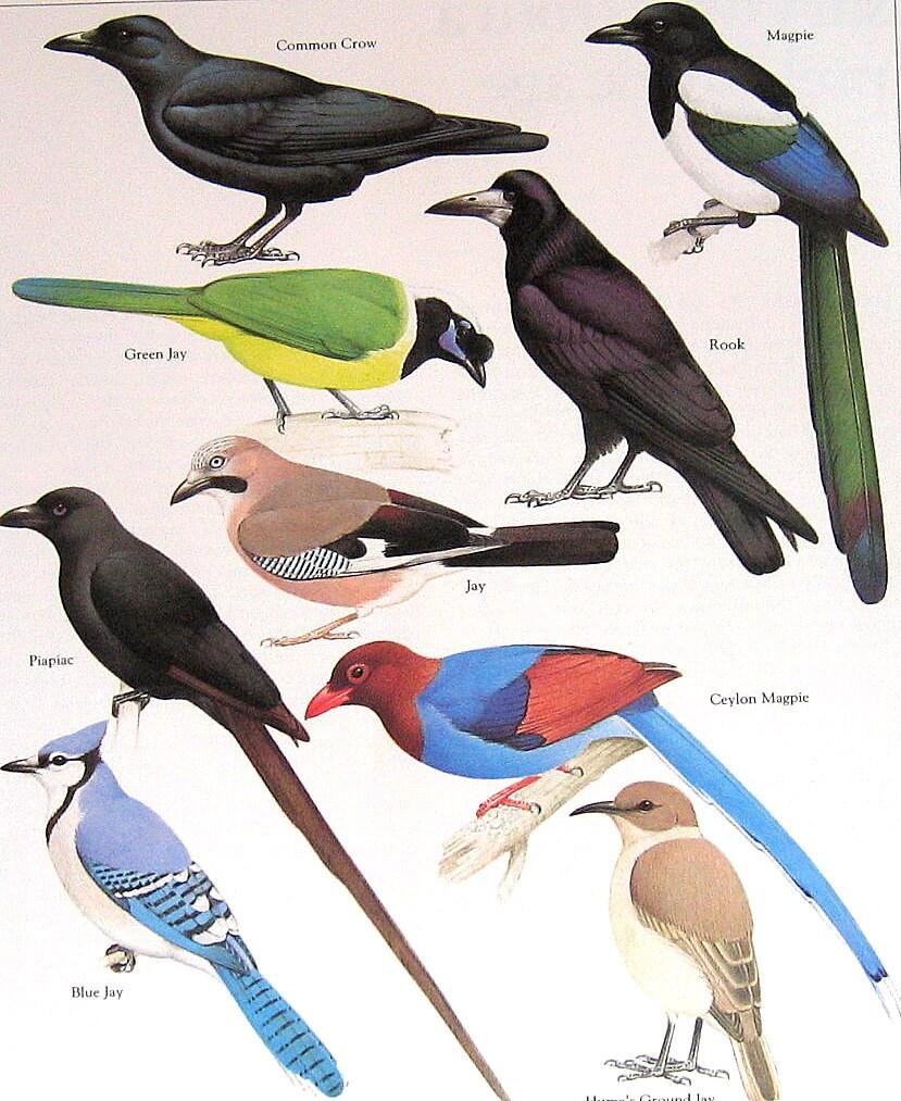 Common Crow Green Jay Ceylon Magpie Rook Vintage 1984 Birds