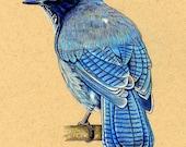 ACEO  ATC Steller's Jay Blue Bird