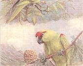 Vintage Bird Print, Book Plate, Parrots, Carolina Parakeet, Allan Brooks, Antique Bird Illustration, 1930s