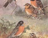 Vintage Bird Print, Book Plate, Thrushes, Robin, Townsend Solitaire, Allan Brooks, Antique Bird Illustration, 1930s