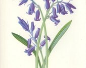 Hyacinth, Reproduction Victorian Wild Flower Antique Botanical Page, Edward Hulme 1880, Country Cottage Decor , Botanical Illustration