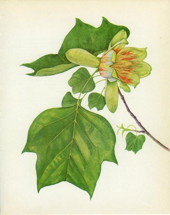 Vintage Tulip Tree Print, Botanical  Book Plate 81, Ornamental Tree, Nature, Landscape, Frameable Print, 1969, Choc