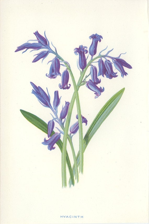 Hyacinth, Reproduction Victorian Wild Flower Antique Botanical Page, Edward Hulme 1880, Country Cottage Decor , Botanical Illustration