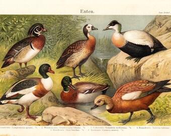 1894 Antique DUCKS print, Ornithology, very nice fine lithograph