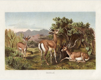 1890 Antique GAZELLE print, fine lithograph of a gazelles, 122 years old nice print