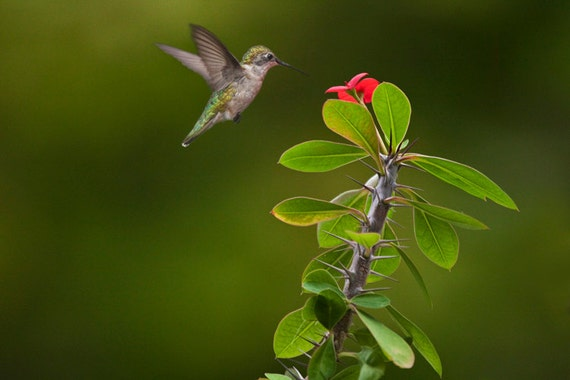 Ruby Throated Hummingbird and a Flower Blossom on my backyard deck in West Michigan No.0372 - A Fine Art Nature Bird Photograph