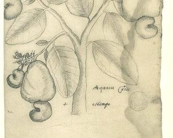 Vintage Botanical Print Drawing Quaiu Flora of Maranhao Brazil