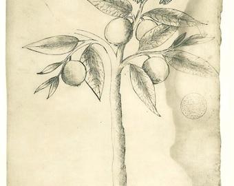 Vintage Botanical Print Sketch Drawing Native Plant Arasa Maranhao Brazil