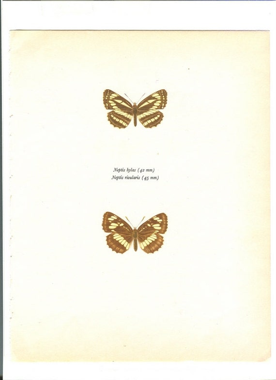 Vintage Butterfly Print  Neptis Hylas and Neptis Rivularis in Brown    Vintage Butterfly Print