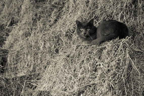 Black and White Photography, Cat Photograph Photo Paper or  Canvas, Cat on a Barn Haystack Print, Spooky Halloween 8x10 or 8x12