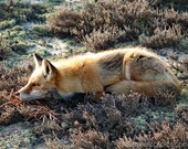 Red Fox photograph, orange and brown Nature photography, cabin decor