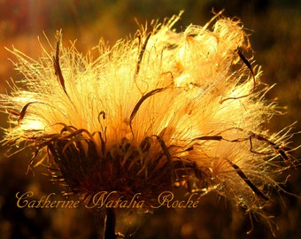 Dry Thistle, Dry Plants, Autumn Evening, Autumn Photography, Autumn Flowers, Nature Photography,  Gold, Golden, Catherine Natalia Roché