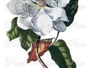 MAGNOLIA Instant Donwload Large Digital Images, vintage botanical illustration wedding clipart 060