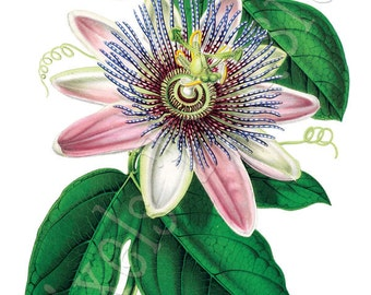 PASSIFLORA Instant Download, Digital Wedding Clipart, botanical illustrations 107