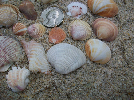 Natural Florida sea shells, beach home decor, jewelry supplies, cockles arks and more (Lot 105)