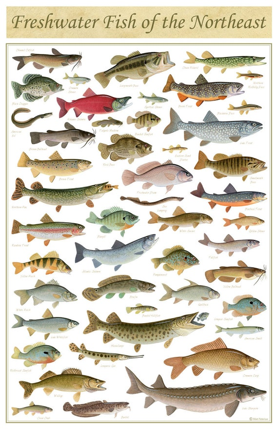 Freshwater fish of the northeast poster 11x17 inch print by for Freshwater fishing in southern california