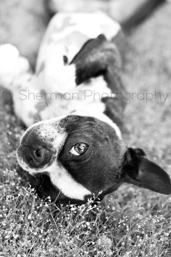 Dog Photography - Boston Terrier Photo - Black and White Print - Cute Dog Photo - 8x10 8x8 10x10 11x14 12x12 20x20 16x20 - Photography