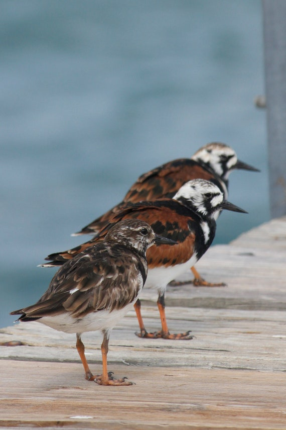 The Three Amigos, birds, nursery wall decor, fine art photography, pier, blue ocean, friends