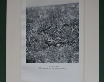 1938 Curlew Vintage Print - Bird Nest - Wildlife - Nature - Black & White Photograph - Antique Picture - Ornithology