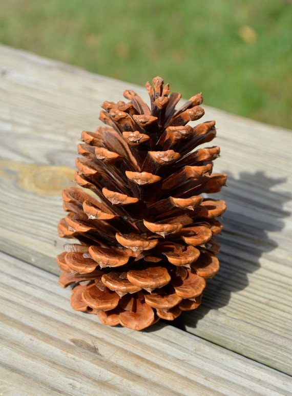 Natural pinecones 25 large size pine cones for Large pine cones