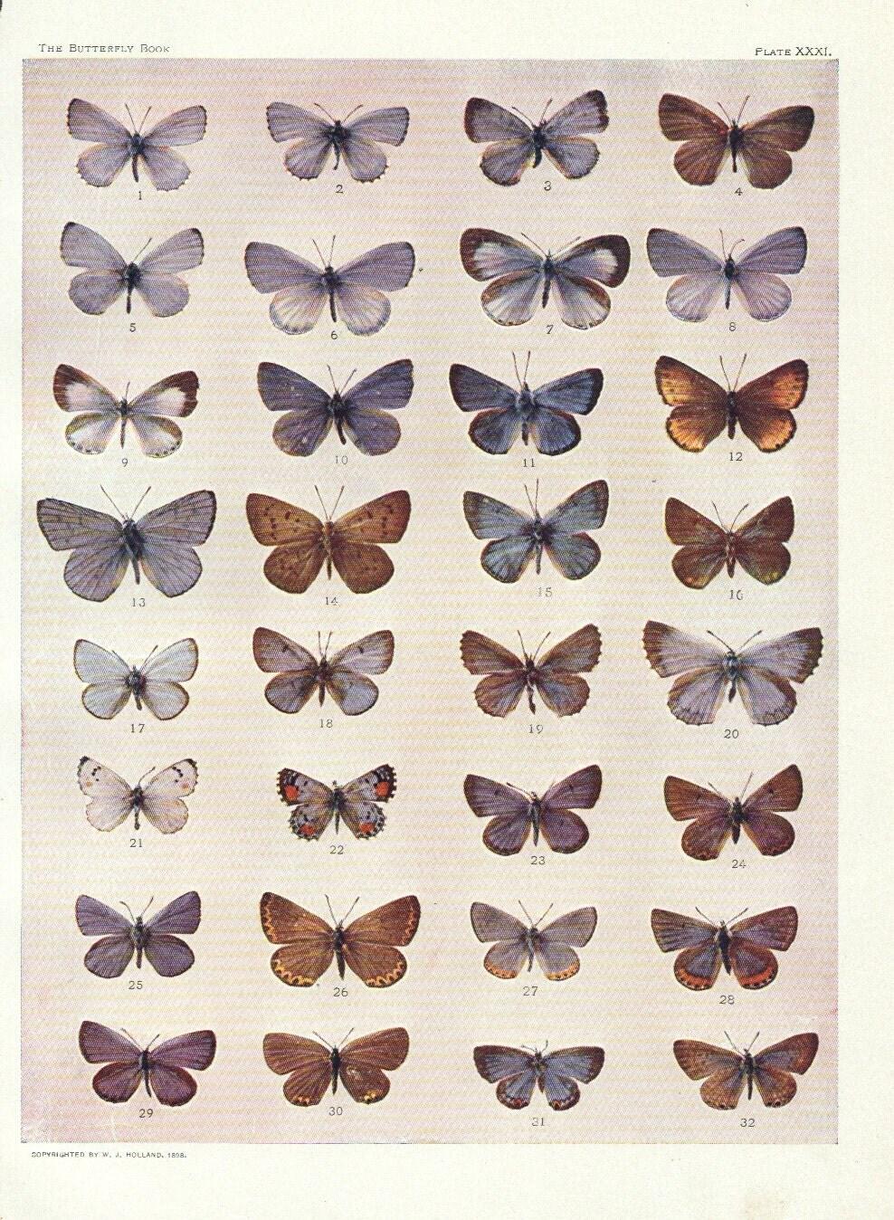 vintage butterfly specimen chart pale blue grey butterfly  Vintage Butterfly Chart