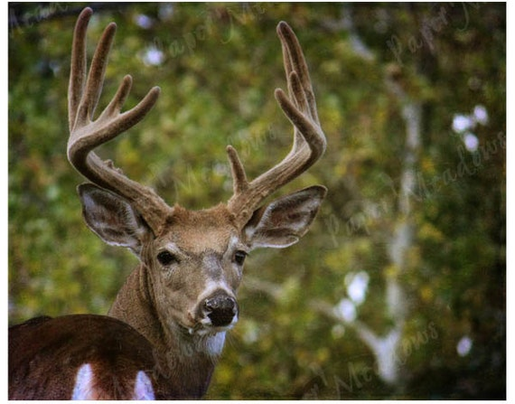 Deer Photo Download, Antlers, green and brown, rustic, Photography Download, Buck, wildlife, animal in forest, autumn photography, woodland