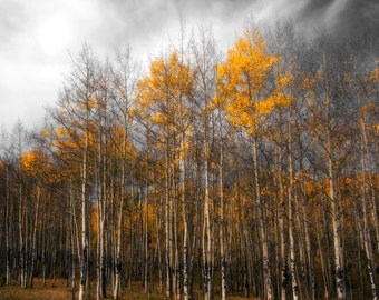 Aspen trees fall photo, Colorado aspen wall art, fall trees photo, log cabin decor, fine art photography, rustic wall art, nature | Stormy