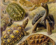 Turtles & Tortoises Reptile Haeckel Print Vintage Natural History Victorian Scientific Lithograph To Frame 89