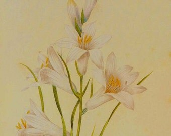 Paradise Lily Paradisea liliastrum Wild Flower Lithograph By Redoute Vintage Illustration Botanical Print To Frame 11