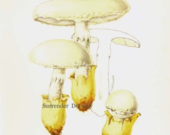 Amanita Ovoidea Mushrooms Edible Mycology Chart Food Botanical Lithograph Illustration For Your Vintage Kitchen 11
