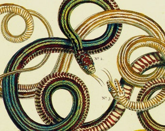 Various Twisted Snakes Serpent Herpetology Seba Natural History Lithograph Chart Poster Print To Frame