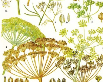 Dill Cumin Fennel Coriander Spice & Herb Chart Plant Flowers Food Chart  Botanical Lithograph Illustration For Your Vintage Kitchen 139