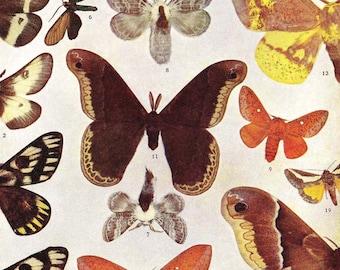 Hemileuca, Pseudoharzis, Anisota Moths Entomology Natural History 1907 Edwardian Rotogravure  XI