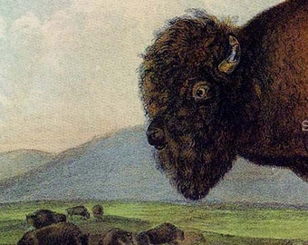 Bison Buffalo American Audubon Wild Animal Vintage Lithograph Natural History Print To Frame