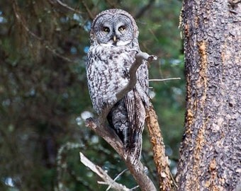 Great Grey Owl, Forest Bird, Majestic owl, Samhain Totem, Happy Halloween, Photograph or Greeting card
