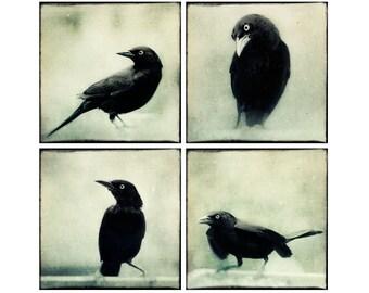 Raven Print Set, Halloween Art, Raven Crow Art, Black and White Photos, Bird Photo Set, Raven Photographs, Spooky Wall Decor, Set of 4