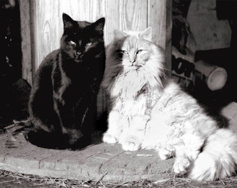 10X8 Black and White Cats