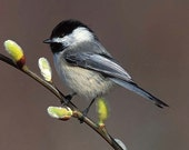 Chickadee, Black Capped and Pussy Willow, 5x7 Matted Bird Photograph, Wildlife Nature Photo, Wild Animal Wall Art, Spring