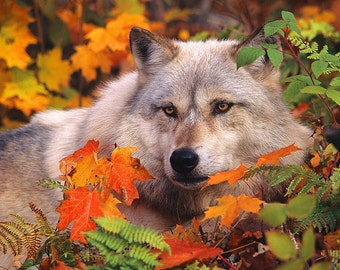 Gray Timber Wolf in Fall Leaves,  8x10 Animal Photography, Wildlife Nature Photo, Wild Animal Wall Art, North Woods Cabin Cottage