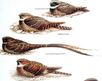 Birds Print - Nightjar, Common Poor Will, Lyre Tailed Nightjar - 1984 Vintage Birds Book Page