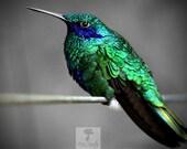 Green Violeteared Hummingbird