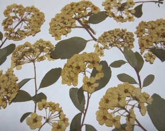 Dried Pressed Flowers for Crafting - Antique White Spirea