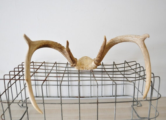 large vintage weathered partial deer skull and antlers