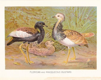 1901 Bird Print - Florican and Macqueens Bustard - Vintage Antique Book Plate for Natural Science Lover Great for Framing 100 Years Old